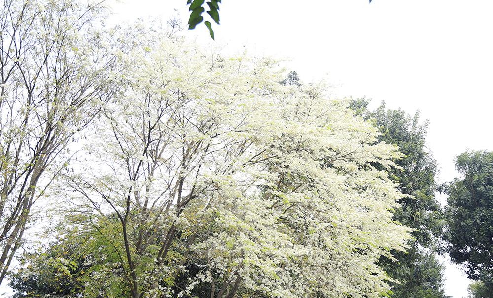 Hà Nội đẹp nao lòng mùa hoa sưa